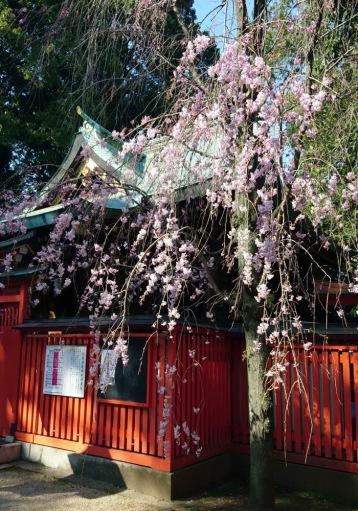 本殿右手の桜