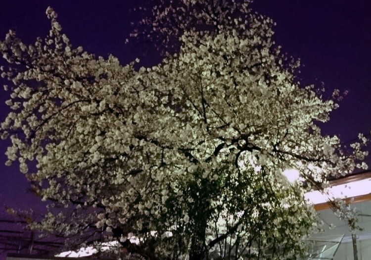 夜桜と中央線(試し撮り)
